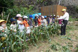 7月21日 1年生トウモロコシ収穫